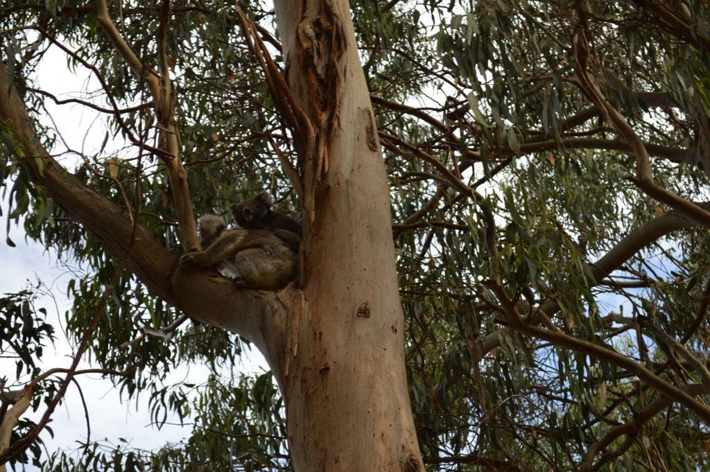 Koala Australië Great Ocean Road