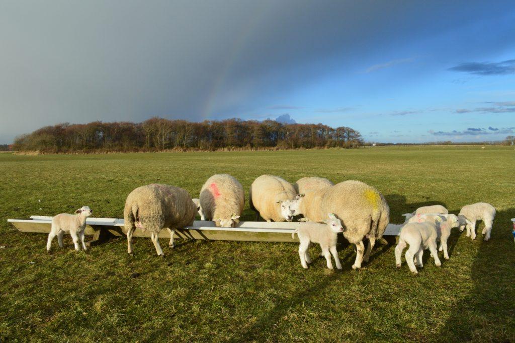 Lammetjes lente Texel