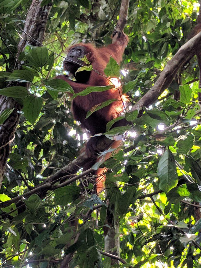 Orang Oetan spotten Bukit Lawang Sumatra