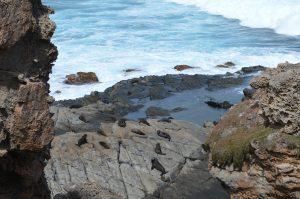 New Zealand Fur Seals bij Admirals Arch
