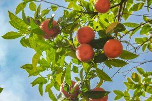 Sinaasappelboom Athene